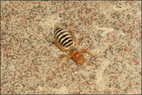 Jerusalem Cricket and Horsehair Worm